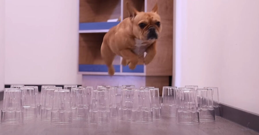 Bulldog Francese sfida dei bicchieri
