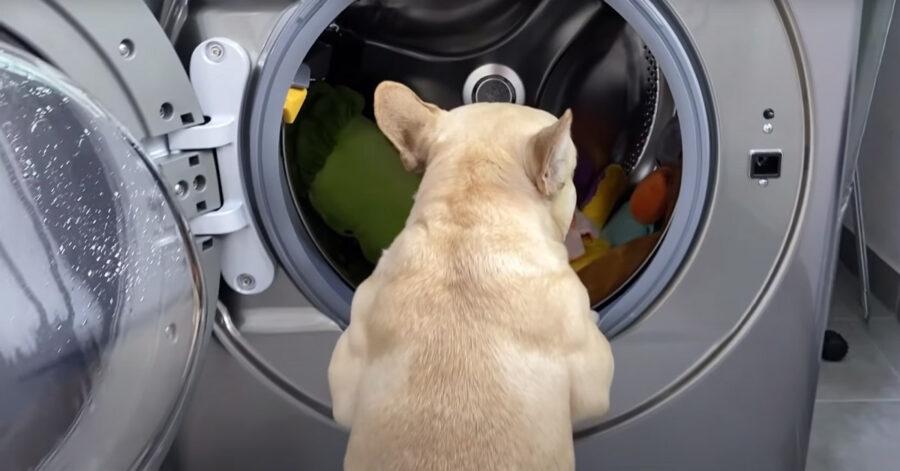 Bulldog Francese davanti ad una lavatrice