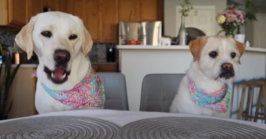 I due Labrador assaggiano per la prima volta delle crocchette di pollo
