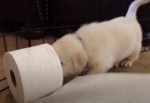 Cucciolo che gioca con la carta igienica