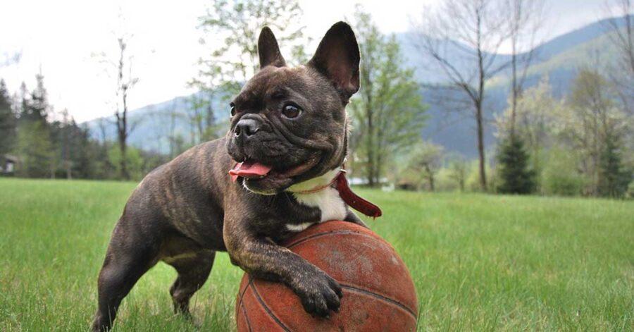 Bulldog Francese che gioca