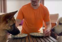 Golden Retriever e Pastore Tedesco che mangiano