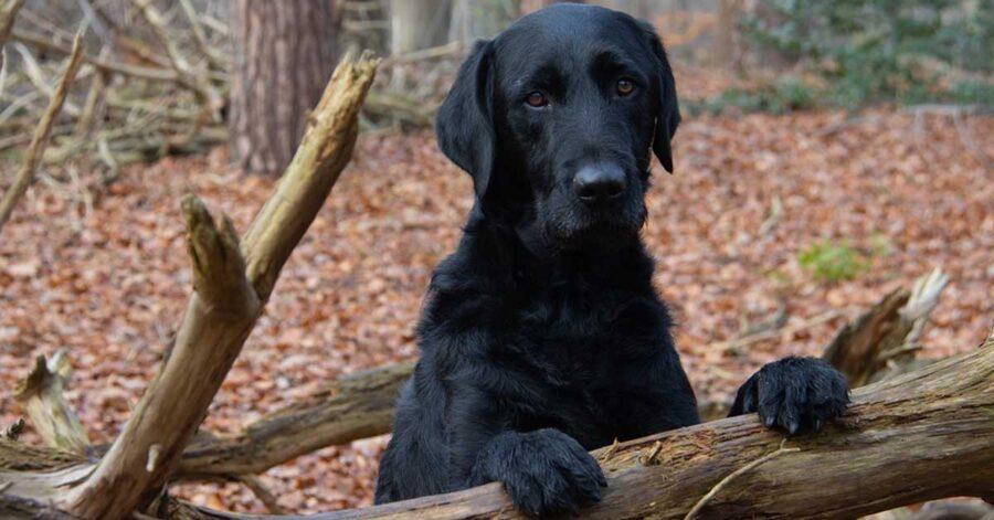 Labrador in un bosco