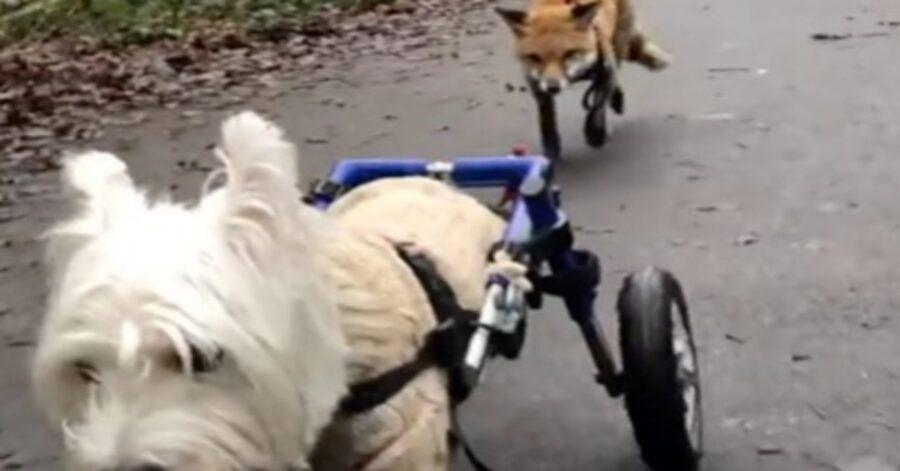 Jack Norfolk terrier volpe video