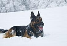 Pastore Tedesco nella neve