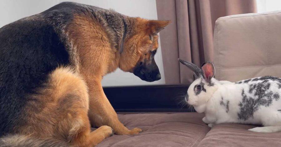 Pastore Tedesco con un coniglio