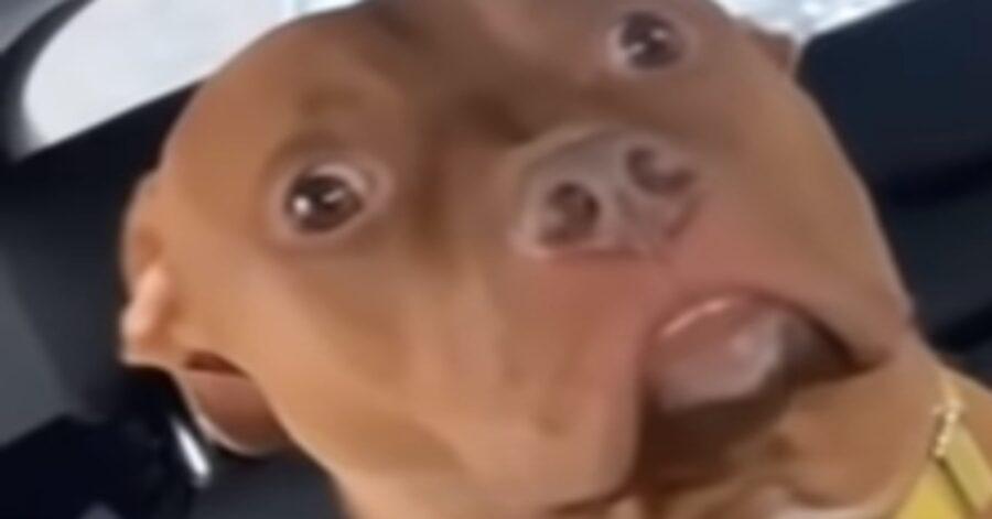 Il Pitbull Ottis capisce di essere arrivato dal veterinario (VIDEO)