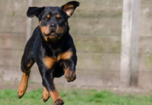 Rottweiler corre