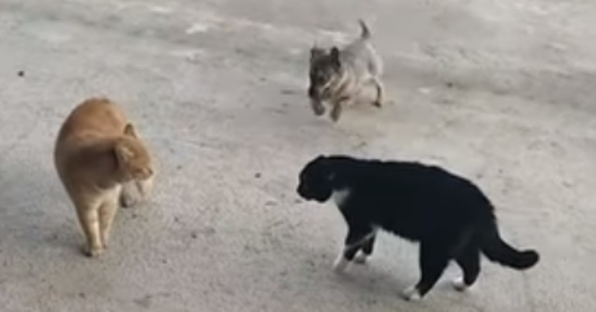 Il cagnolino Tuzik interviene per sedare il litigio fra i gatti (VIDEO)