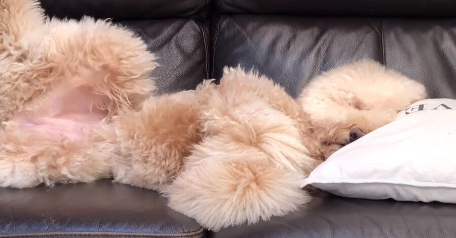 Il cane Barbone è estasiato di fronte al proprietario che canta (video)