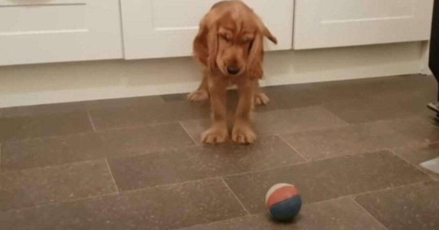 Cucciolo Cocker Spaniel con una pallina