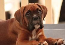 Cucciolo di Boxer che osserva