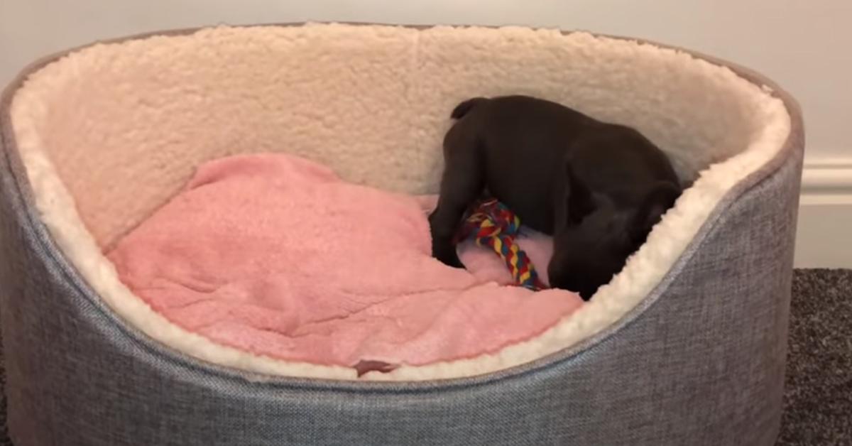 Cucciolo di Bulldog Francese nella sua cuccia