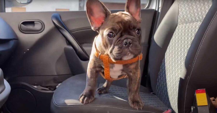 Il cucciolo di Bulldog Francese va dal veterinario per la prima volta