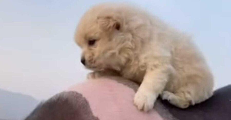 """Il cucciolo di Golden Retriever ha deciso di """"usare"""" un maialino come mezzo di trasporto (video)"""