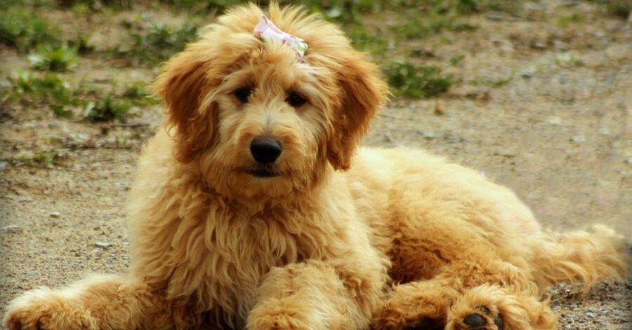 """Il cucciolo di Goldendoodle si """"dispera"""" perché non riesce a trovare la sua padrona (video)"""