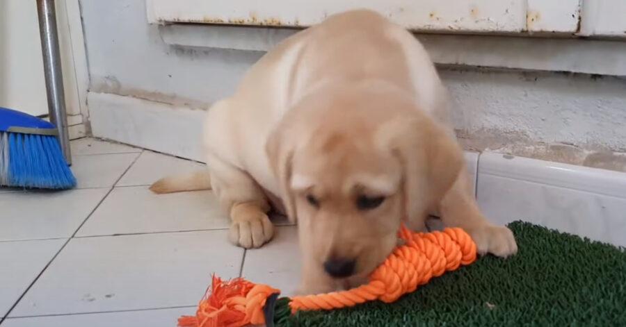 Il cucciolo di Labrador trascorre per la prima volta un giorno nella sua nuova casa