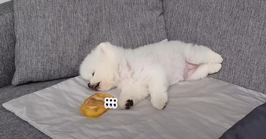 Il cucciolo di Pomerania riceve un premio mentre dorme e la sua reazione è tutta da ridere (video)
