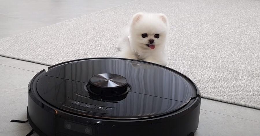 Cucciolo di Pomerania con il roomba