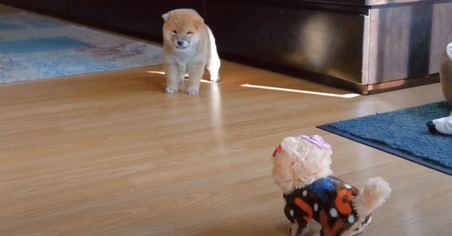 Il cucciolo di Shiba Inu ha paura di un cane finto (video)
