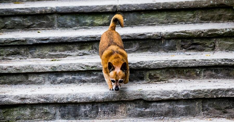 Cane che scende le scale