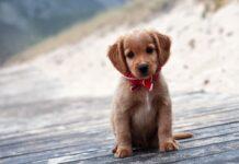 cucciolo di cane sembra gobbo