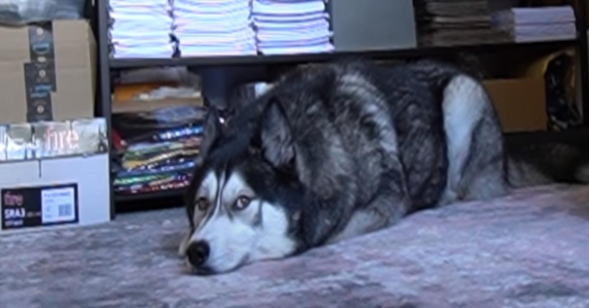 K'eyush, l'Husky che si diverte a giocare a nascondino con la sua padrona (VIDEO)