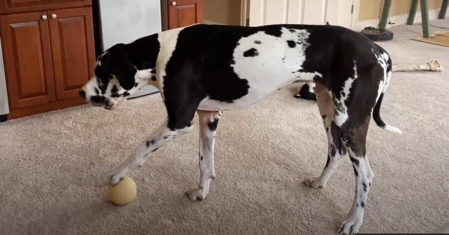 Alano con una pallina