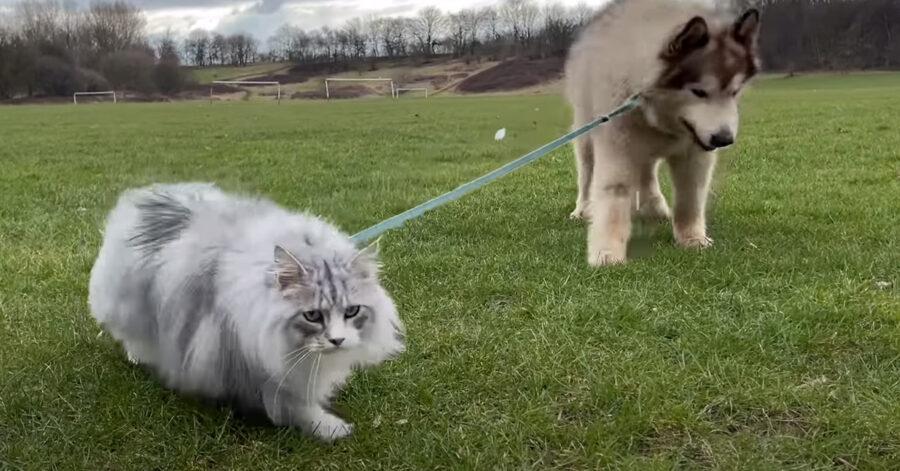 Alaskan Malamute con un gatto al guinzaglio