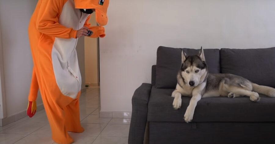 Husky con un Pokemon