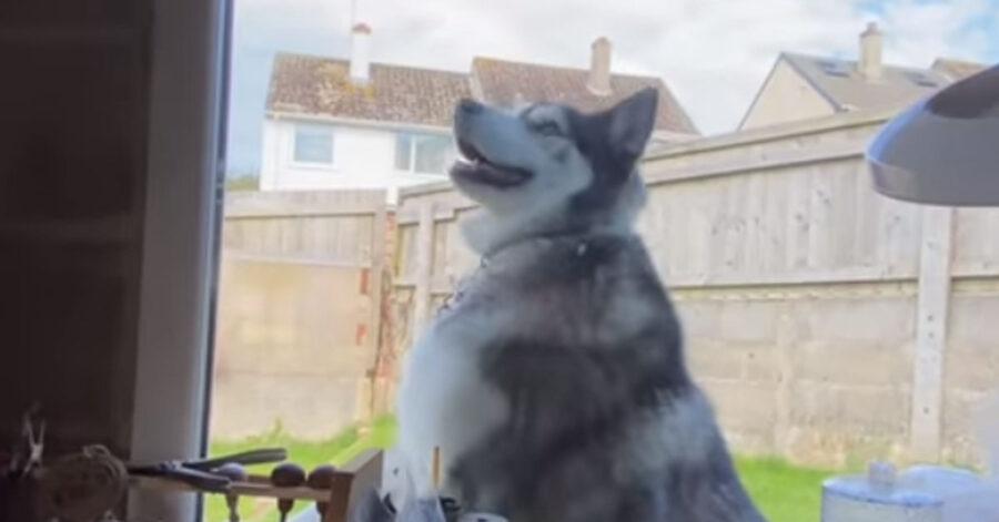 L'Husky bussa alla finestra per avere le coccole (video)