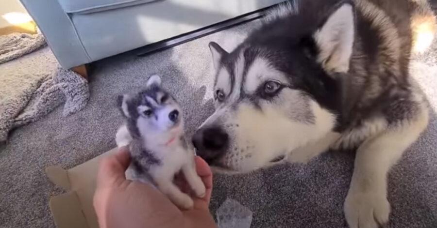 Husky annusa un gioco