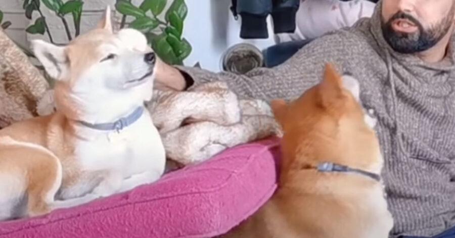 Shiba Inu con il padrone