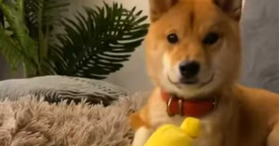 "Lo Shiba Inu litiga con il suo Pikachu e decide di ""punirlo"" (video)"