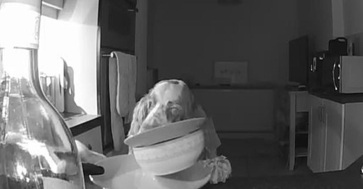 Lo Springer Spaniel Curtis viene ripreso a rubare il cibo mentre tutti dormono (VIDEO)