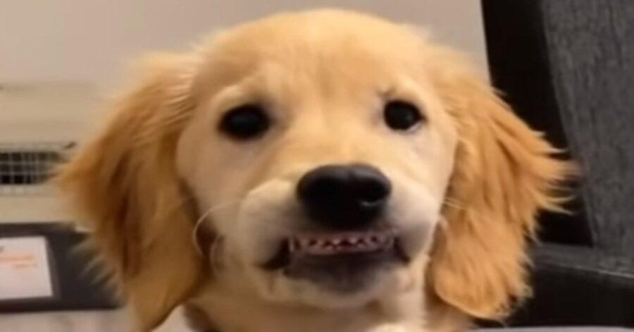 Loni Golden Retriever denti video
