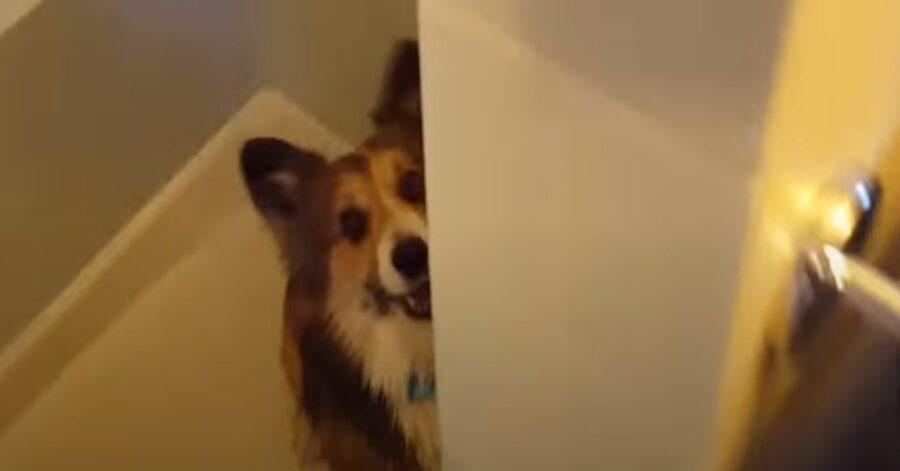 Misty, la Corgi che non vede l'ora di fare la doccia (VIDEO)