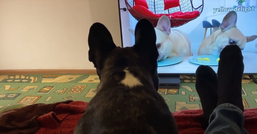 Bulldog Francese guarda la tv