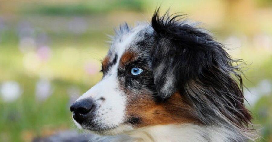 Razze di cani con occhi azzurri o blu-Cane Pastore Australiano