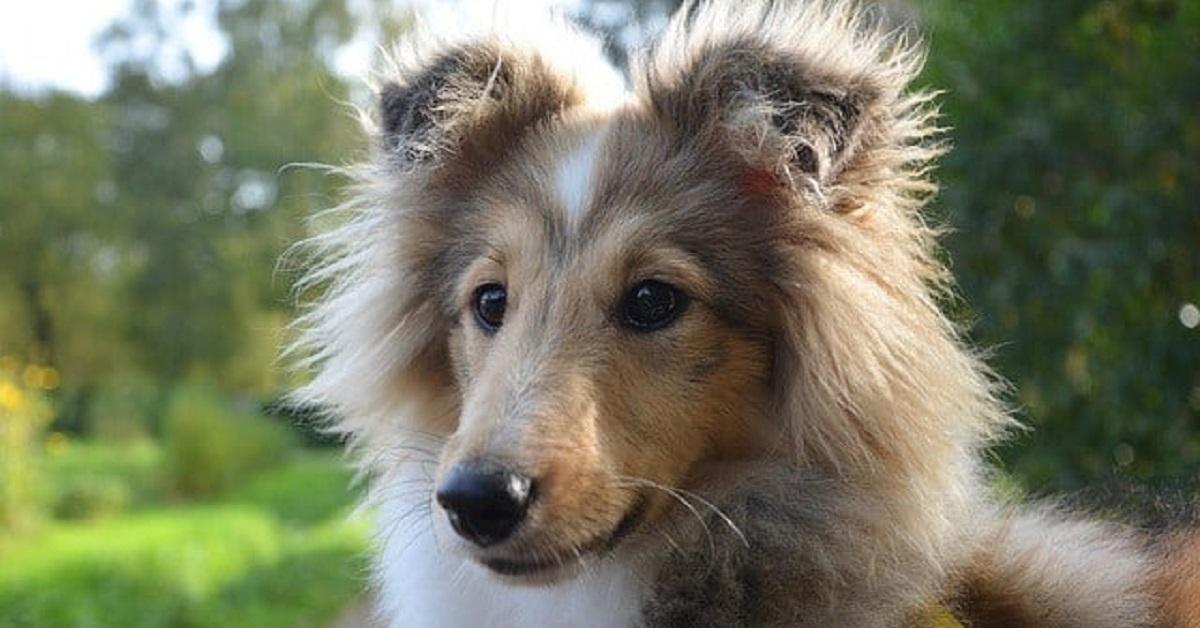 Razze di cani con occhi azzurri o blu-Cane Shetland Sheepdog
