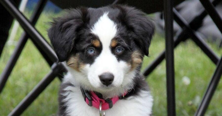 Razze di cani con occhi azzurri o blu-Cane Border Collie