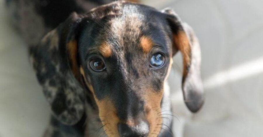 Razze di cani con occhi azzurri o blu- Bassotto