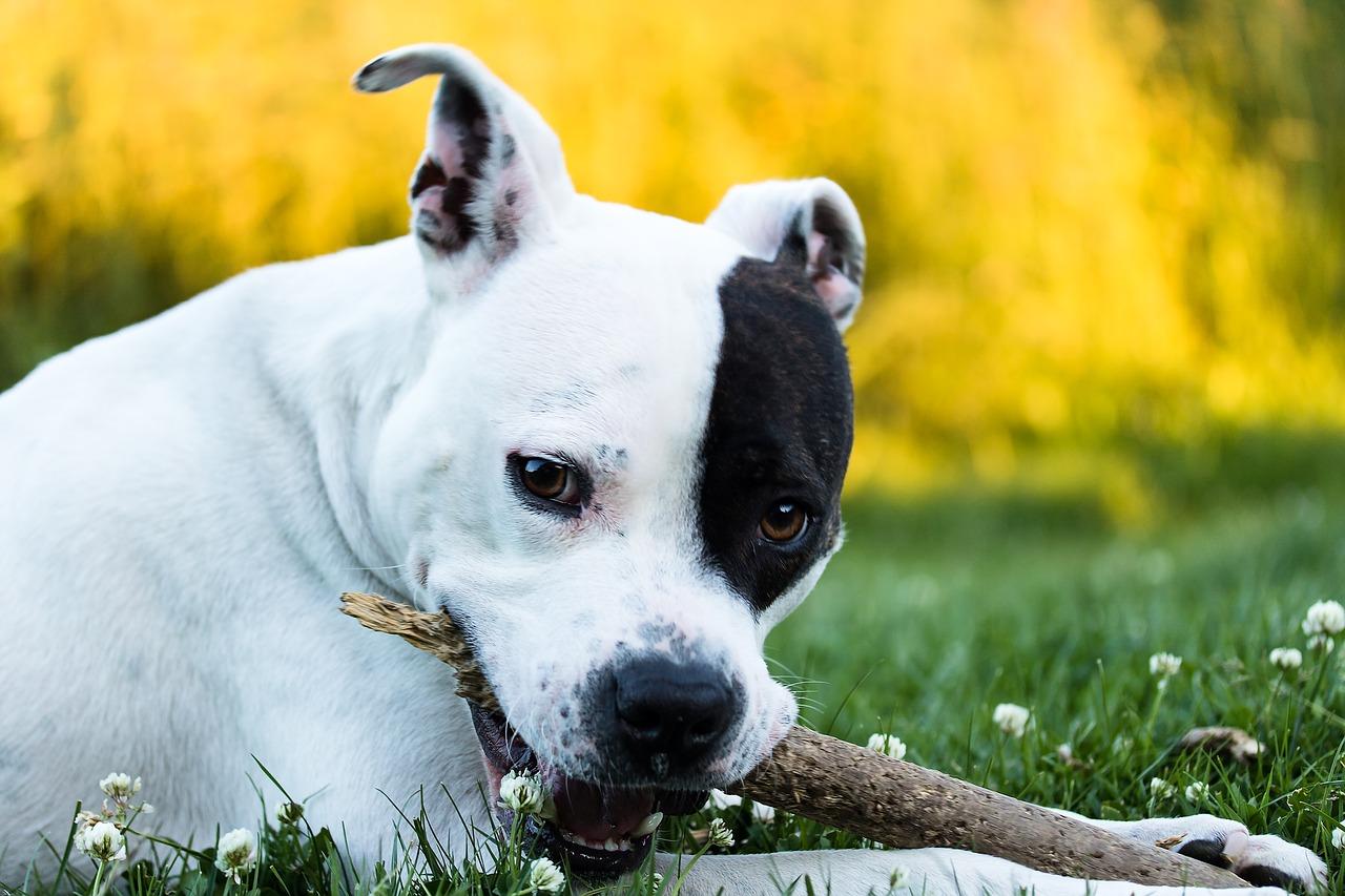 Razze di cani che darebbero la vita, American Staffordshire Terrier