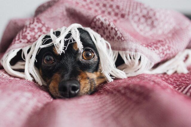 cane ansioso
