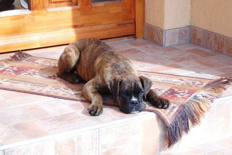 Cane adottato non dorme: perché, cosa significa e come aiutarlo