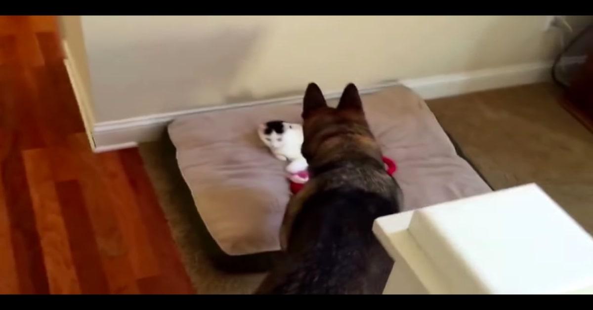 Pastore Tedesco non vuole il gatto sul cuscino