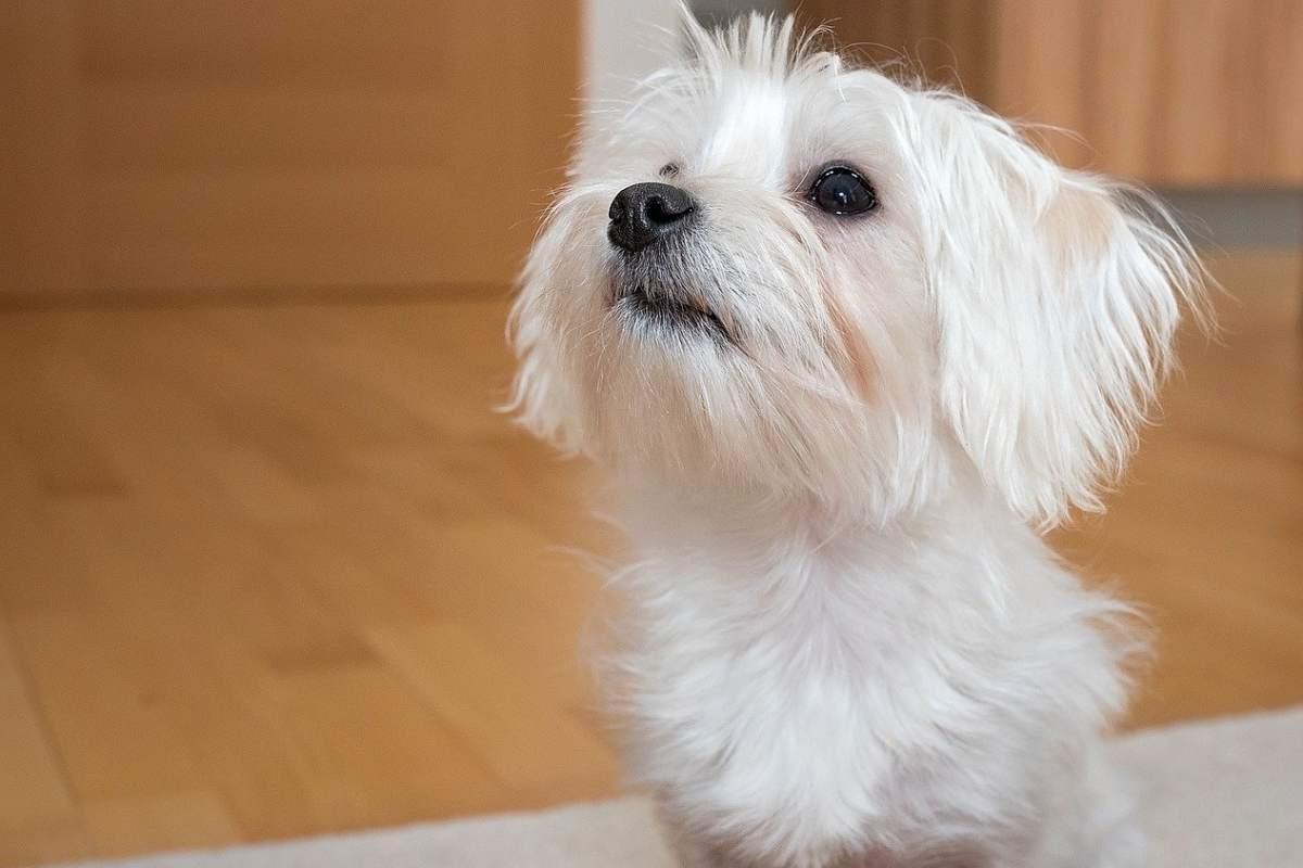 cagnolino di colore bianco
