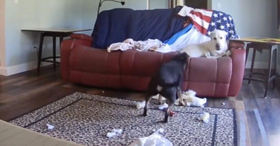 cane dispettoso rompe divano