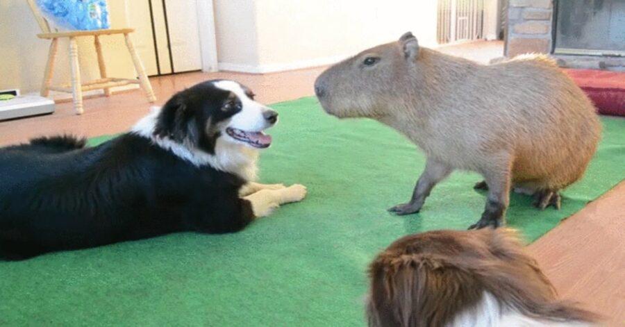 border collie e capibara