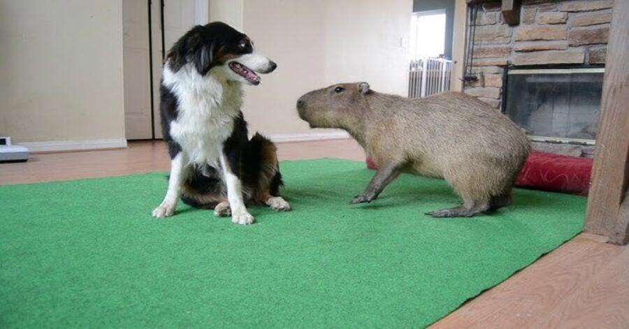 Border collie gioca con capibara